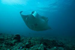 BD-150424-Maldives-8029-Manta-birostris-(Walbaum.-1792)-[Giant-manta.-Stillahavsmanta].jpg